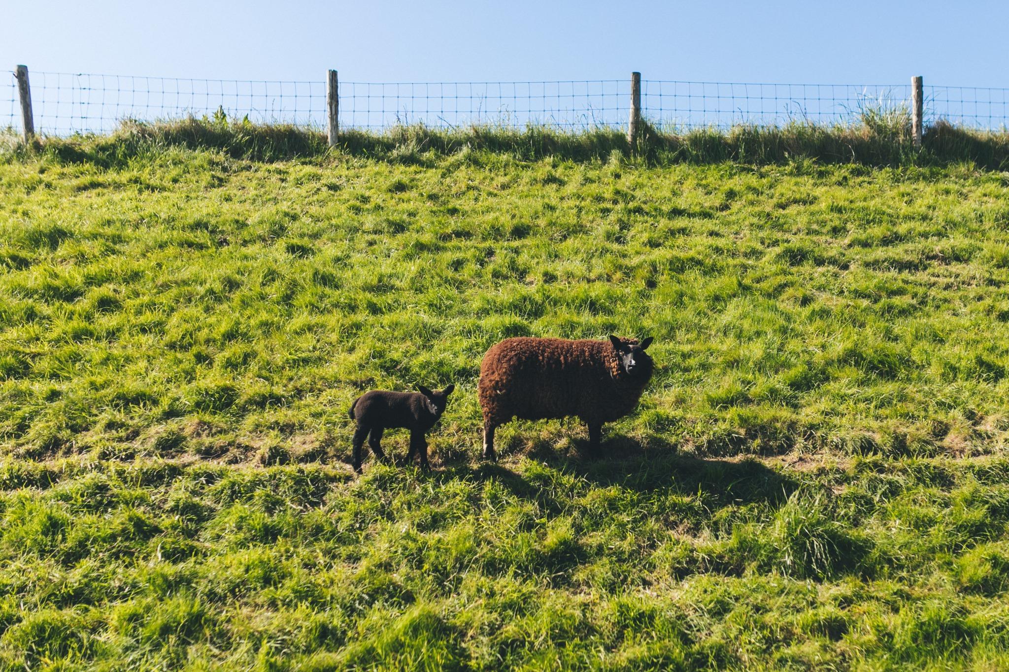 schapen op dijk